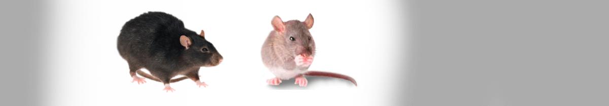 Rodent Removal & Control Melbourne   Dawson's Australia