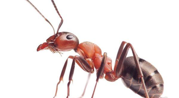 What Attracts Ants to the Home