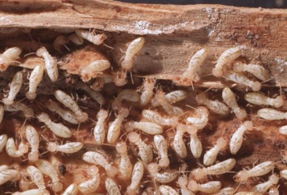 What is examined during a termite inspection?