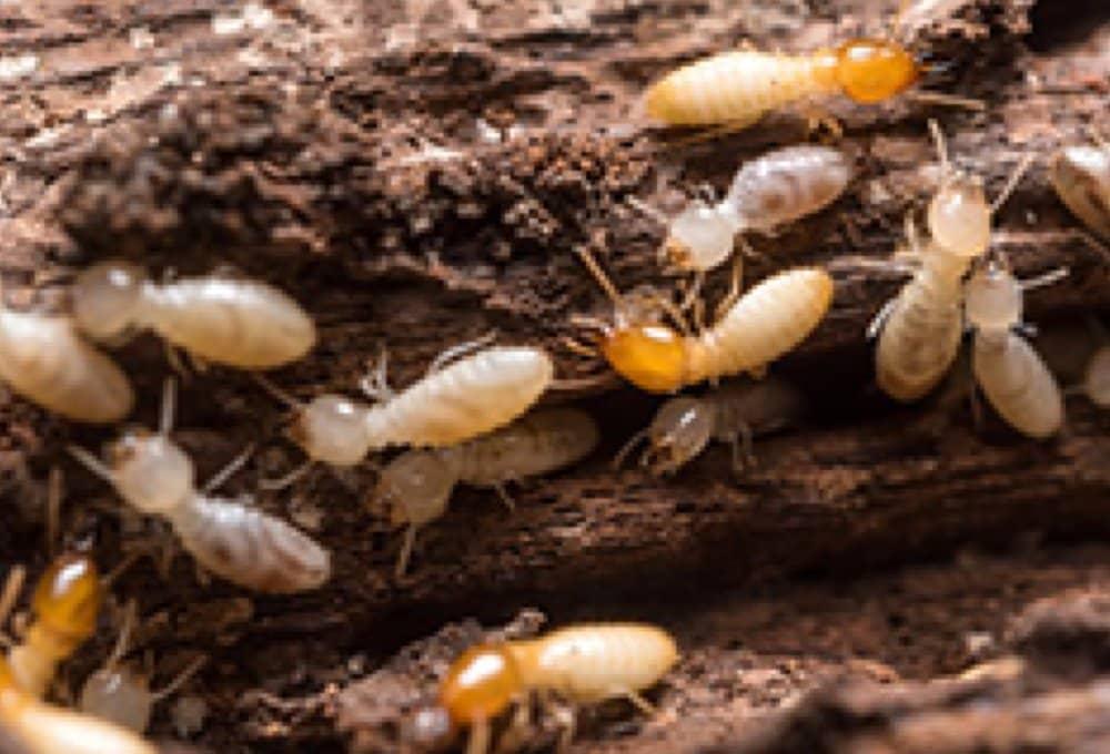Termite Colony Damage