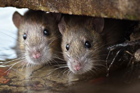Rodents Run Rampant – What You Need to Know About Melbourne's Current Mouse Plague