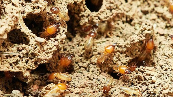 How to Prevent a Termite Infestation: 5 Useful Tips