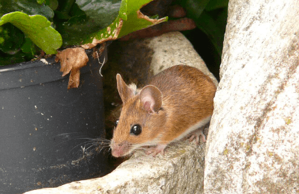 Misconceptions about Mice Infestation