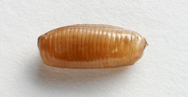 German cockroach egg