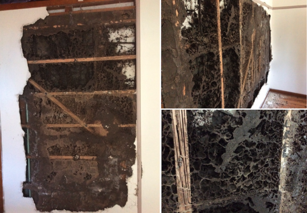 Subsidiary termite nest in a wall cavity