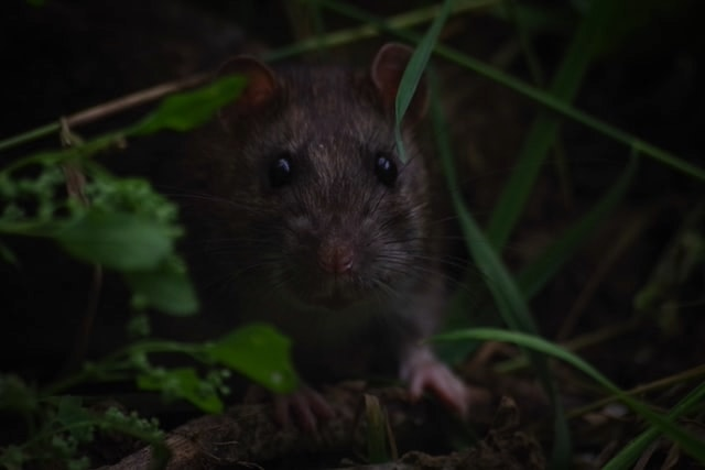 Rats in Endeavour Hills