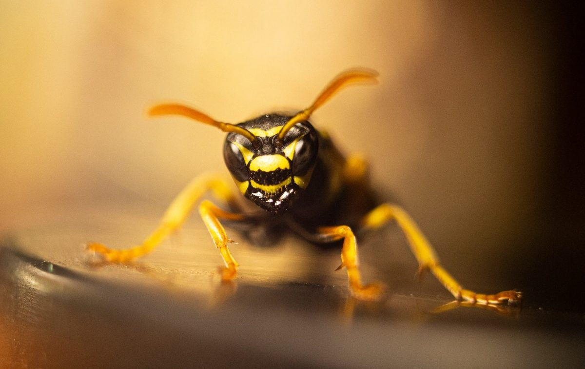 Wasp Removal in Coburg